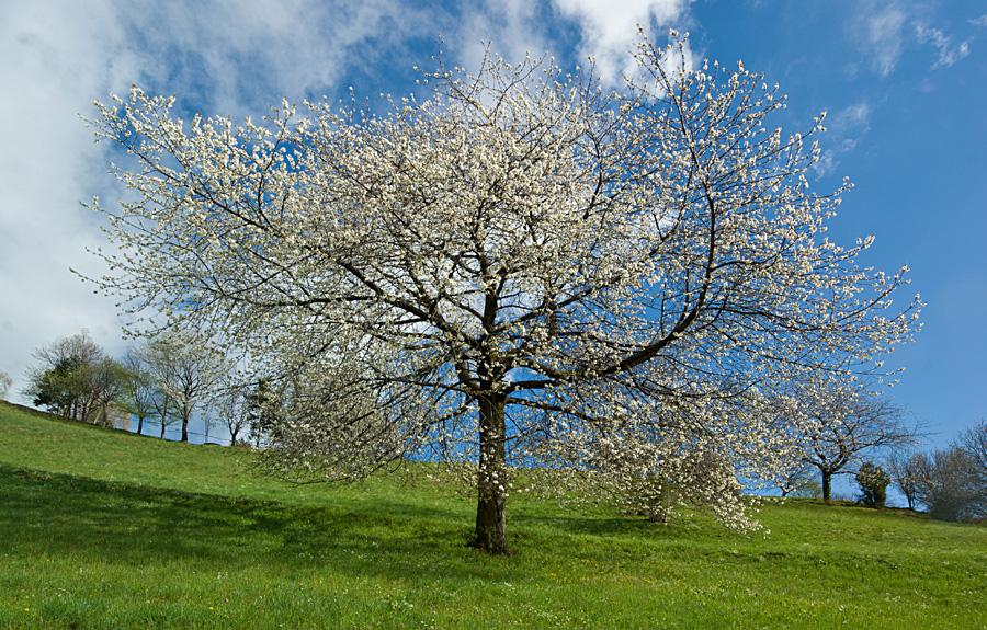 Valle brembana il ciliegio in fiore sulle prealpi for Pianta di ciliegio