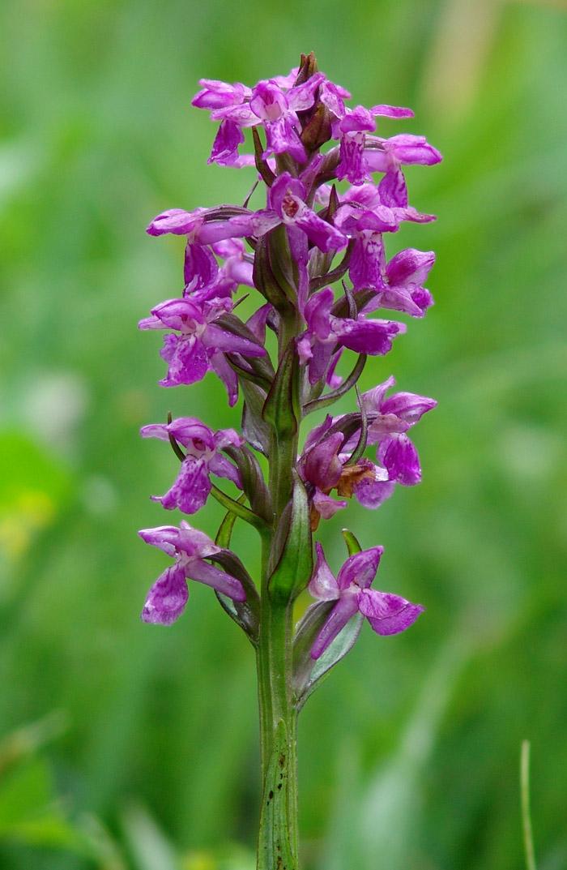 Valle Brembana Orchidea Selvatica Delle Alpi E Prealpi