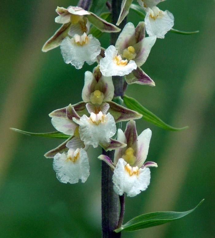 Valle brembana orchidea selvatica delle alpi e prealpi for Nuovo stelo orchidea