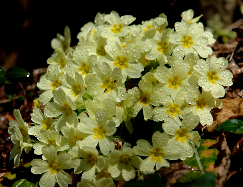 Valle brembana primula comune primula vulgaris flora for Primule immagini