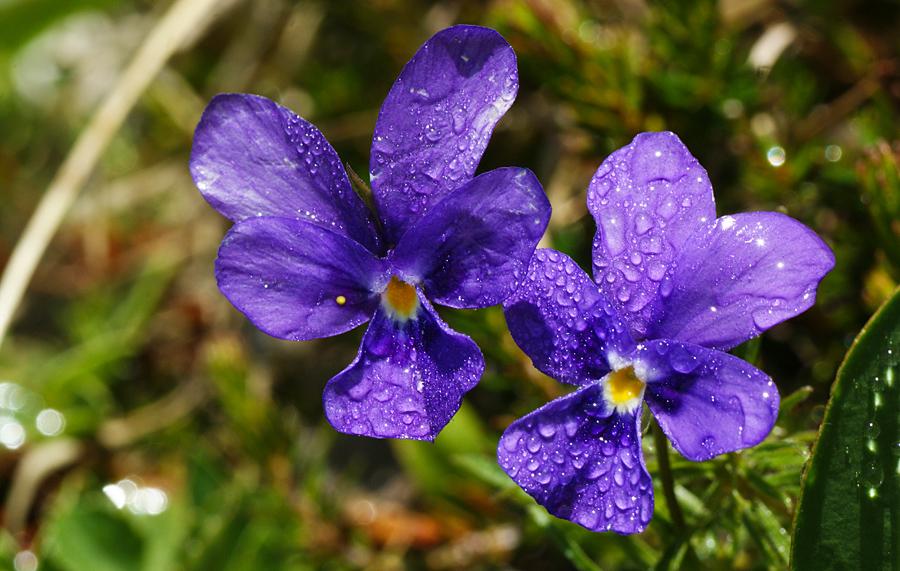Nomi dei fiori nomi di fiori viola gpsreviewspot for Nomi dei politici italiani